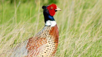 upland bird