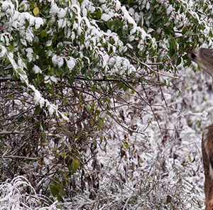 7 Tips to Improve Deer Browse