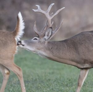 """""""That Smell""""- Bringing In Bucks During the Rut"""