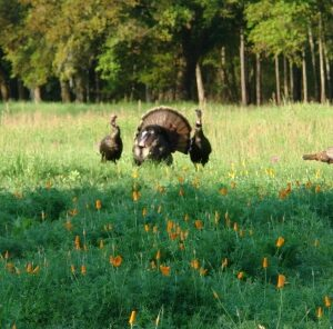 5 Things You Need to Keep Gobblers On Your Land