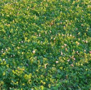 4 Tips to Make Your Clover Last for Years