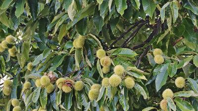 Blight Resistant American Chestnut