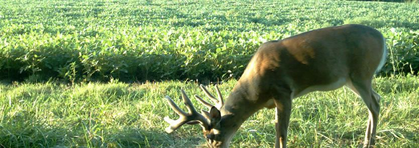 whitetail deer inventory