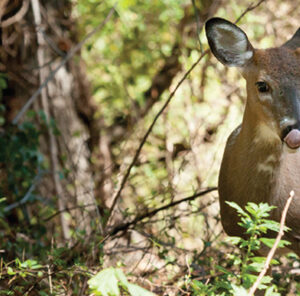 Piebald Whitetail Deer: One In Thirty Thousand
