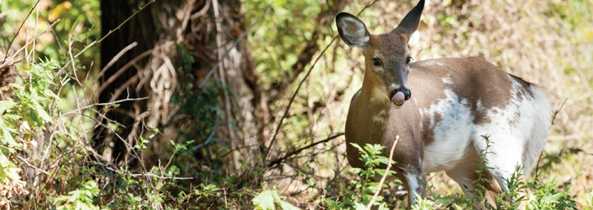 piebald whitetail deer