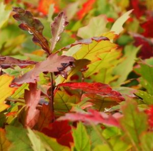 """Red Oak Hybrids: The """"Next Big Thing"""" for Wildlife"""