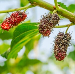 5 Things Every Hunter Needs to Know About Mulberries