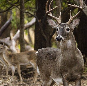 Buck to Doe Ratio: Understanding the Balance