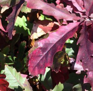 New Red Oak Hybrid from Mossy Oak Nativ Nurseries