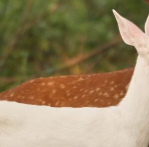 About the Albino Whitetail