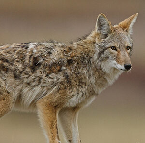Managing Predators for More Deer