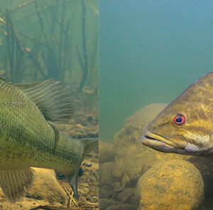 Largemouth and Smallmouth Bass: How do you tell them apart?