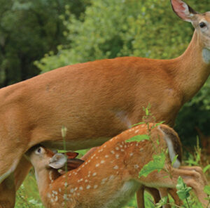 When do Deer Have Fawns?