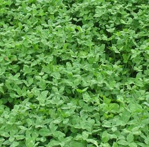 How to Grow Clover Food Plots