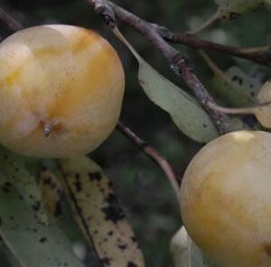 How to Identify a Wild Persimmon Tree