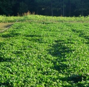 4 Steps For A Successful Spring Food Plot