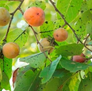 Understanding The American Persimmon