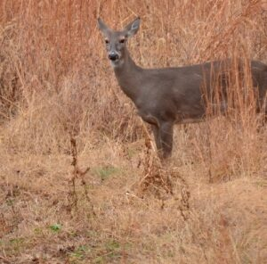 Are You Spooking Deer Walking to and from Your Stand?