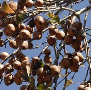 Soft Mast Trees: Late Season Deer Pears