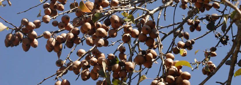 soft mast trees deer pear