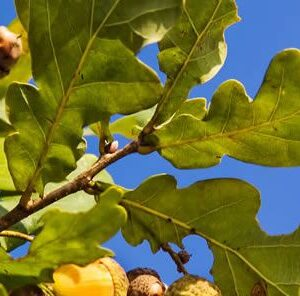 How To Fertilize Trees For Acorn Production