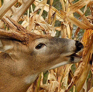 Biologic's Wildlife Sweet Corn: A GameKeepers Secret