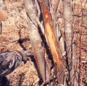 Why do bucks rub trees?