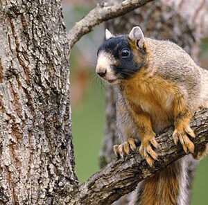 The Fox Squirrel – Interesting Facts and Management Tips