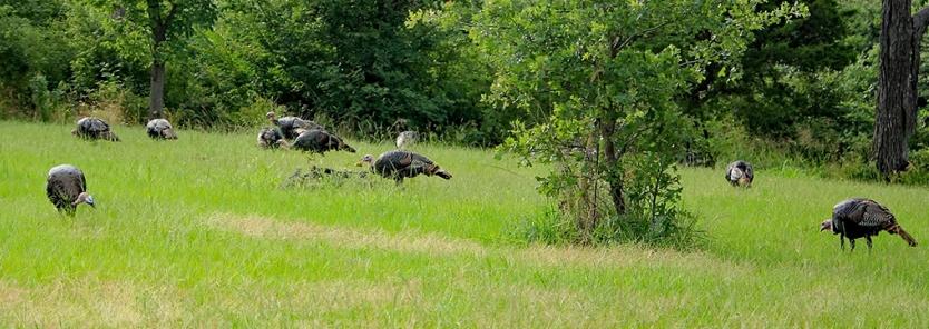 Creating Wild Turkey Habitat