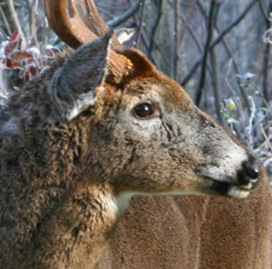 Managing For Whitetails: Love Thy Neighbor