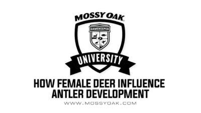 How female deer influence antler development.