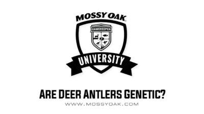 Are Deer Antlers Genetic?