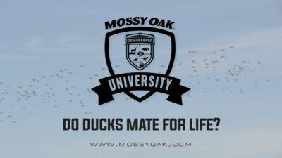 Do Ducks Mate for Life?
