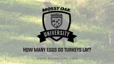 How many eggs do turkeys lay?