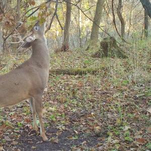 Creating Mock Scrapes for Deer Hunting