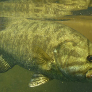 Smallmouth Bass: Are They Suited For Your Pond?