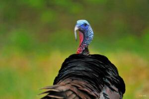 wild turkey snood