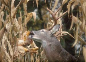 Wildlife Sweet Corn