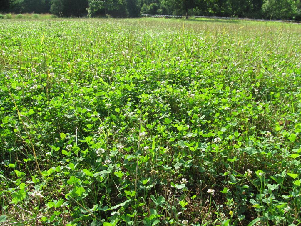clover food plot