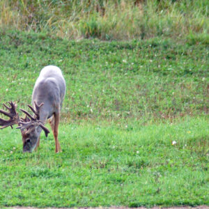 Growing Large Whitetails Anywhere