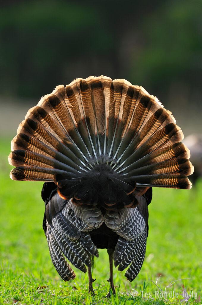 turkey strutting back