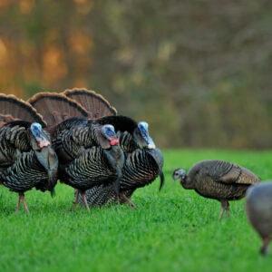 Breaking Down Wild Turkey Displays – Why Turkeys Strut
