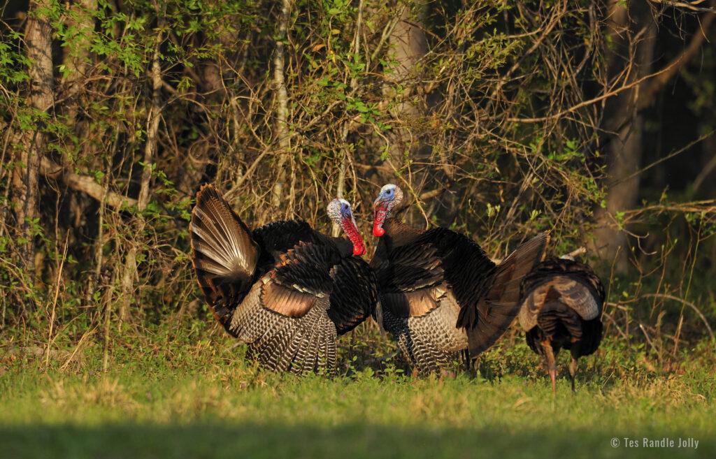 wild turkeys fighting