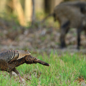 Eliminating Turkey Nest Destroyers
