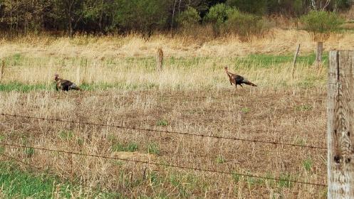 turkeys in food plot