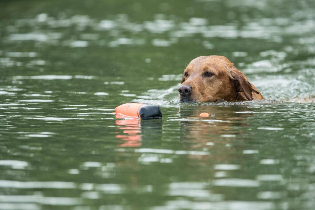 British-Labrador-Retrieving