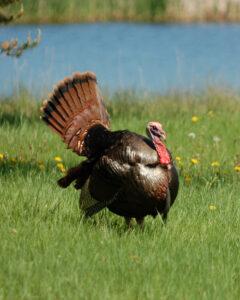 Todd-Amenrud-wild-turkey