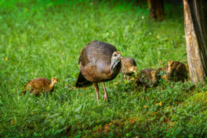 hen-turkey-with-poults