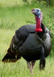 long-beard-turkey
