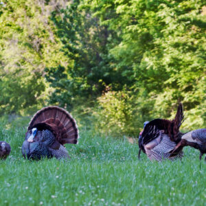 Southern Wild Turkey Populations: Temporary Dip or Long-Term Decline?
